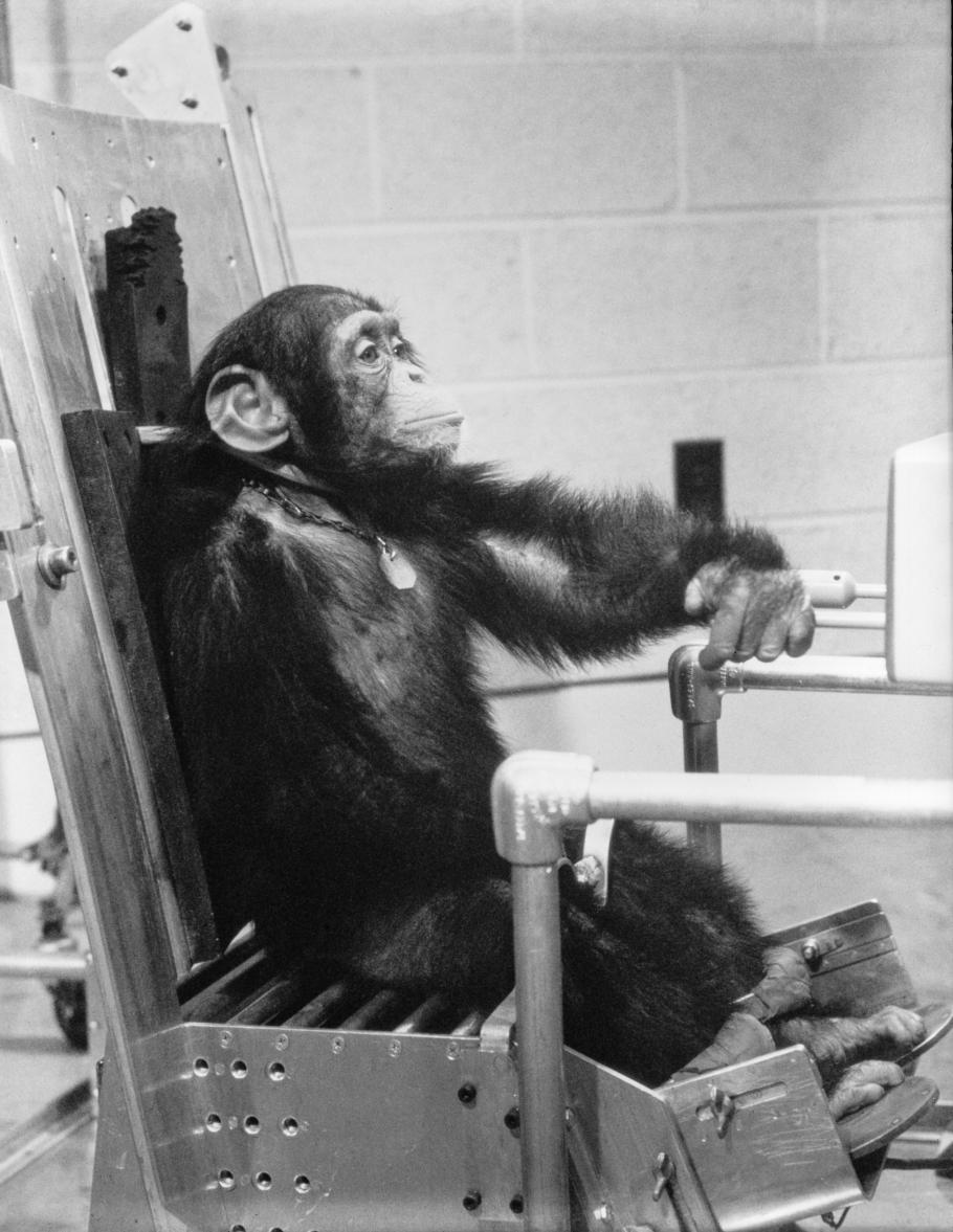 Chimpanzee Ham in Training