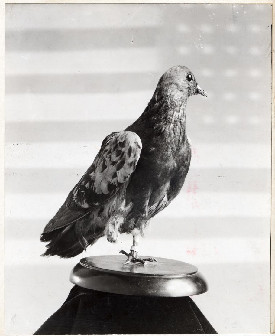Cher Ami a WWI Homing Pigeon