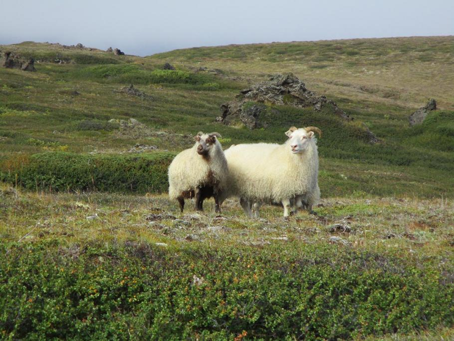A pair of Icelandic sheep grazing nearby the field site.