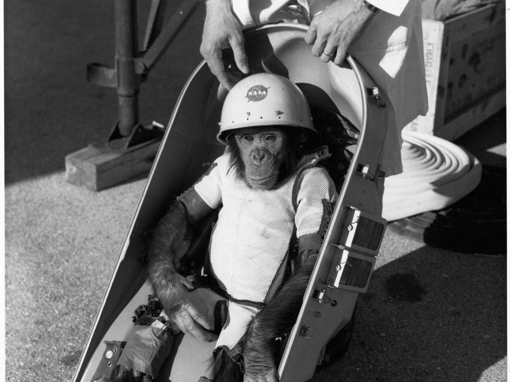 Первый американский астронавт-шимпанзе Хэм