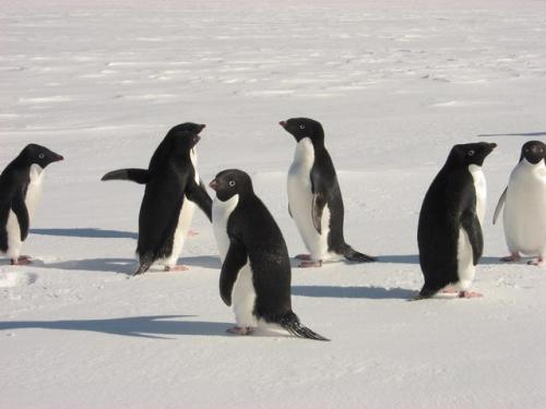 Adelie Penguins Near McMurdo Station, Antarctica